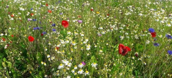 Blühstreifen mit Blumen
