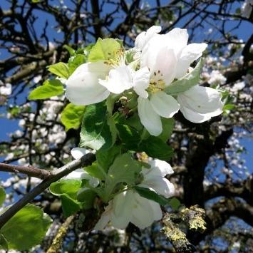 Obstbaumschnitt für mehr Ertrag