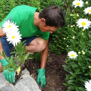 Blumenbeet anlegen lassen vom Maschinenring - im Bild Mitarbeiter, der Margeriten setzt