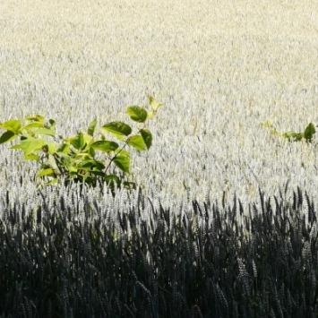 Beikräuter konkurrieren mit den Nutzpflanzen um Nährstoffe, Wasser und Licht.