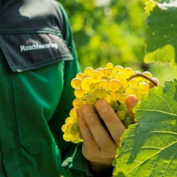 Deomonstrationsbetrieb: Effiziente Planung eines neuen Weingartens, um die spätere Bewirtschaftung zu erleichtern. Im Foto Maschinenring Mitarbeiter mit Weintrauben.