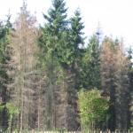 Kupferstecherbefall (Foto Hagen)