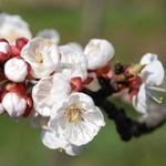 Einladung zum Obstbaumschnittkurs