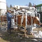 Kuh im Klauenpflegestand